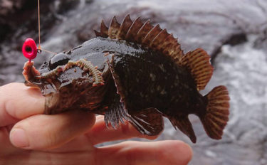 ゴロタ場の穴釣りでムラソイ手中 ヒットシーン丸見えが面白い【伊東】