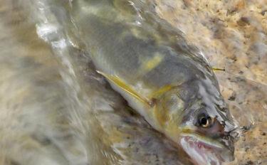 川釣りに『遊漁券』が必要な理由とは アユは海でも禁漁期がある場所も