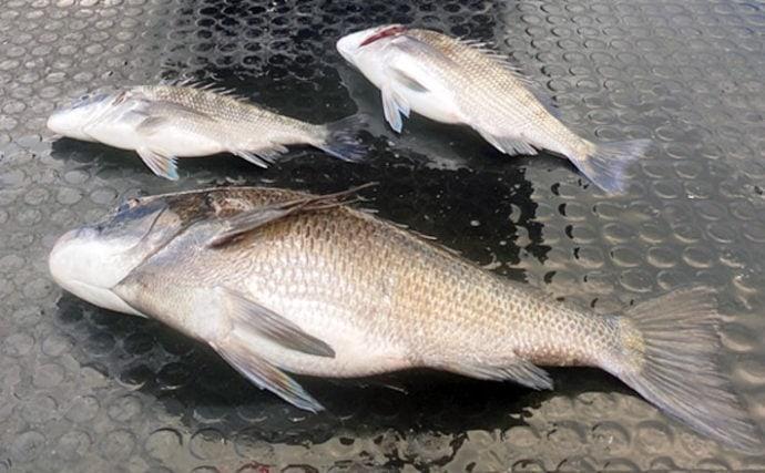 カカリ釣りで52cm頭に本命クロダイ3尾キャッチ【三重・鳥羽】
