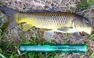 排水路でのコイ釣りで本命63cm ノベ竿で強引を堪能【上新宿新田】