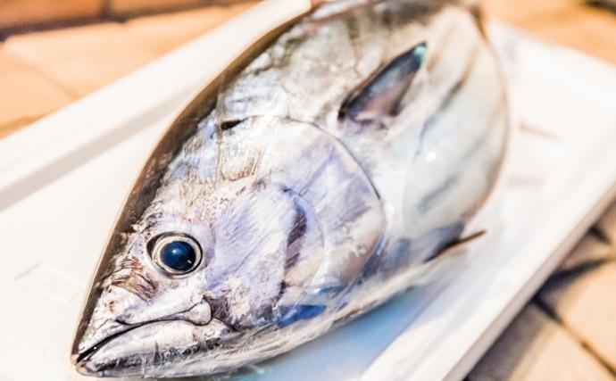 2020年のカツオは大不漁の可能性アリ 黒潮の大蛇行が原因か?