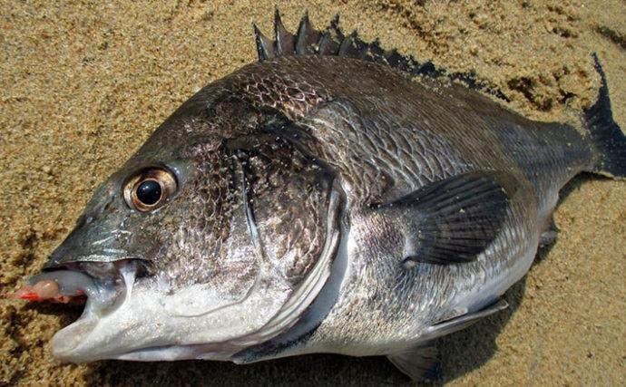 スイカでクロダイが釣れる? 夏に盛期を迎える『スイカ釣り』を紹介