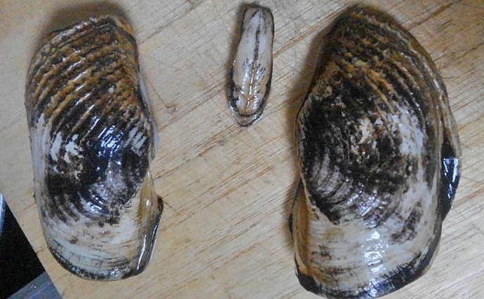 有明海で最も珍奇な形状をした貝「ウミタケ(海茸)」に復活の兆し