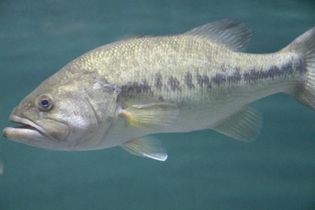 『川魚』を生食してはいけない理由を解説 サーモンはなぜOK?
