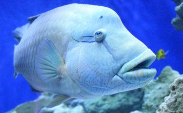水族館で見る魚をもっと知りたい:ナポレオンフィッシュ 絶滅の危機も