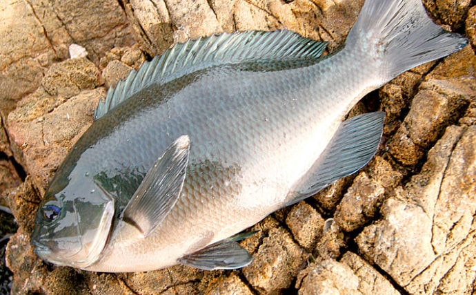 フカセメジナ釣りステップアップ:コマセ&さしエサ 代表的な配合を紹介