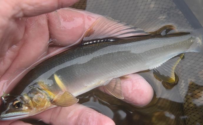 【関西2020】アユ釣り解禁 狙い&状況別に『トモ釣り水中仕掛け』紹介