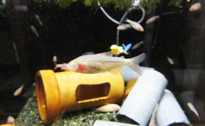 盲目の魚『ブラインドケーブ・カラシン』 人間の精神病との不思議な関係