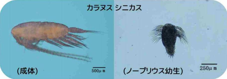 イカナゴ減少の要因を兵庫県が発表 全国初の『科学的解明方法』とは?