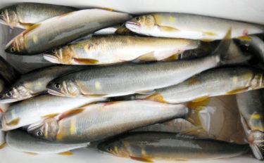 解禁日のトモ釣りで19cm頭にアユ14匹 今後に好期待【和歌山・富田川】