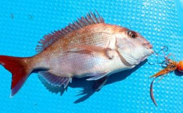 3世代タイラバ釣行で全員安打 40cmマダイに好ゲストのヤズも【大分】