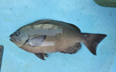 夏の磯魚は「ねこまたぎ」って本当? 実は夏が旬のサカナも