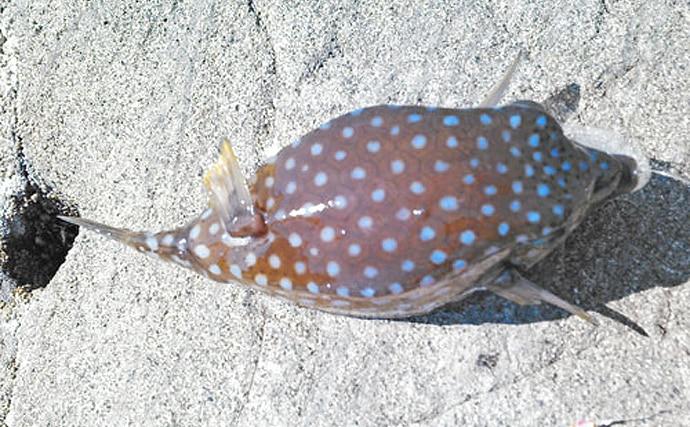 魚介類の「食べるな危険」部位:ハコフグの肝 昔は無毒とされていた?