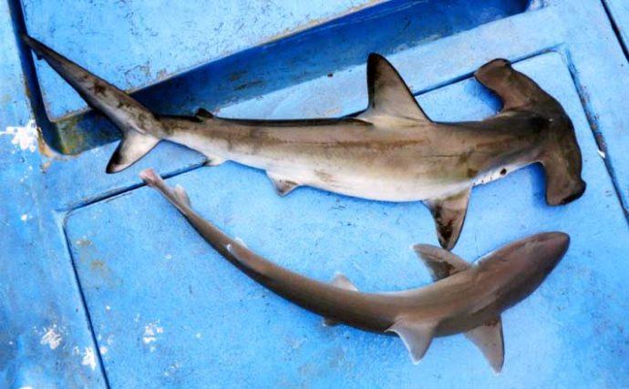 敬遠されがちな淡水&海水のゲスト魚を食す サメの刺身は絶品だった?