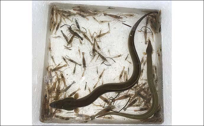 ぶっこみウナギ釣りで堂々の70cm級本命をキャッチ【愛知・筏川】
