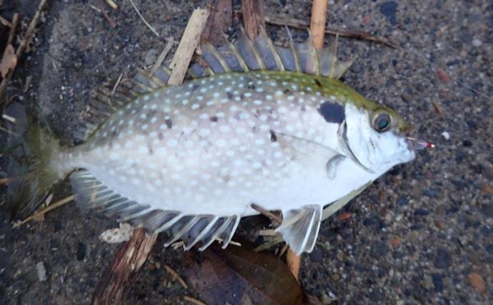 釣りでの厄介者「アイゴ」は美味 トゲに含まれる毒素については未解明