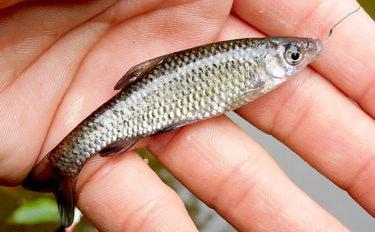 【2020】クチボソ(モツゴ)数釣り攻略法4選  身近な河川で楽しもう