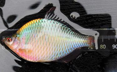 究極の癒し「タナゴ釣り」を解説 引き味抜群で初心者にもオススメ