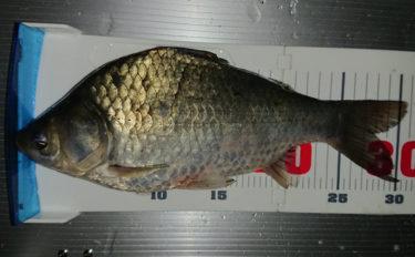 魚影薄い湖で効率よくヘラブナを釣る方法 持たせるエサが正解?【宮崎】