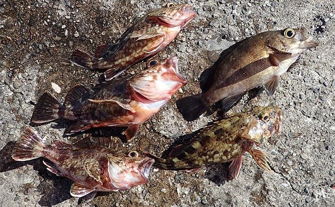 「エビ撒き」釣りで大型メバルを狙う 流し込みにヒット【大阪北港】