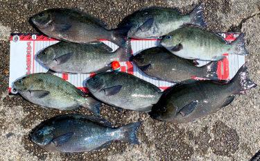 『梅雨グレ』高活性 磯フカセ釣りで37cm頭に25匹手中【和歌山・串本】