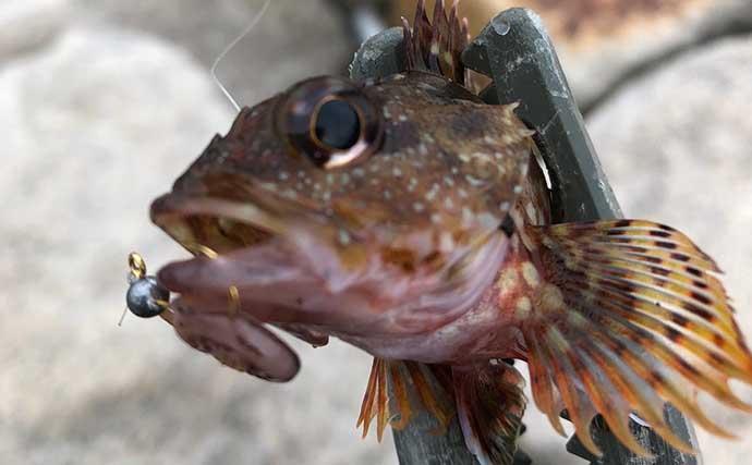 ジグヘッド+イカゲソ=『ゲソング』でライトゲーム対象魚にチャレンジ