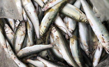琵琶湖の夏の風物詩『小鮎釣り』で入れ食い堪能 食い渋り対応策も解説