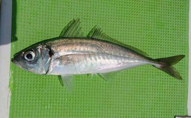 西湘沖『ビシアジ』釣りで30cm超え本命の快引を堪能【神奈川・与宗丸】
