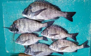 【三重】イカダ&カセ最新釣果 年無しクロダイに1.3kgコウイカなど