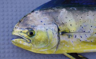 夏の回遊魚『シイラ』の生食は危険? 表皮に毒があるという説も