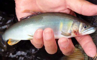 【中部2020夏】トモ釣り最盛期のアユ攻略 タックル・仕掛け・釣り方