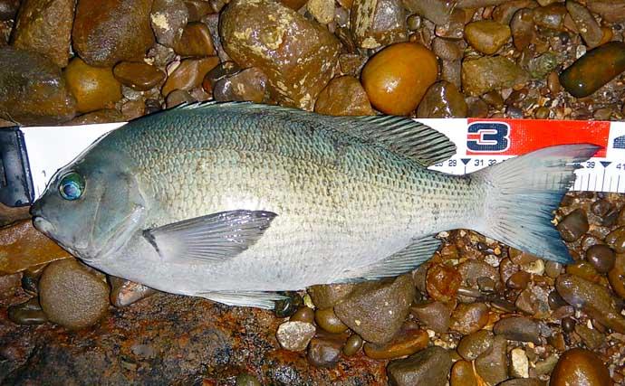 ワームでグレを狙う『グレング』で良型40cm 磯釣りの新釣法となるか?