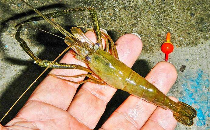 最盛期のテナガエビ釣りで本命30尾 『イシゴカイ』エサが奏功【三重】