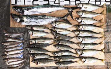 筏釣りでアジ&キス数釣り達成 60cmサゴシも手中【福井・はとう渡船】