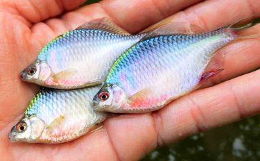 淡水小物リレー釣行で5魚種80尾【埼玉・川口自然公園/びん沼川】