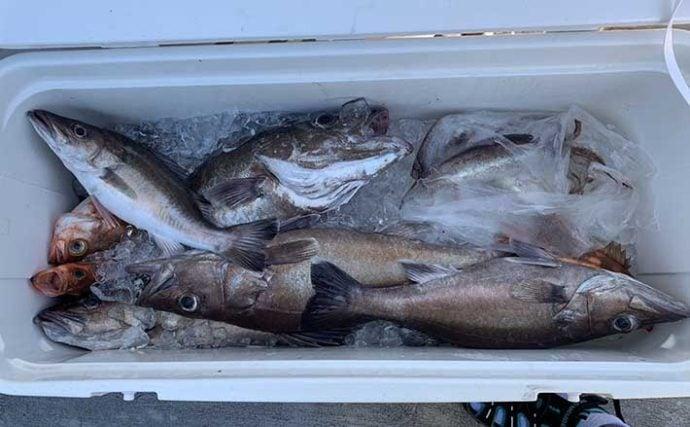 スロージギングで高級魚『アラ』連発 3.8kg頭に5匹【石川・諏訪丸】