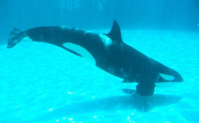 サメは「哺乳類」ではなく「魚類」 イルカやシャチとの違いとは?