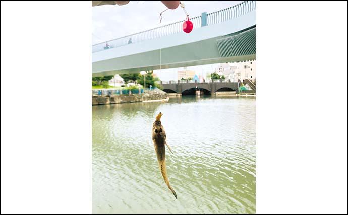 都内でお手軽『ハゼ釣り』 1時間半で100尾【東京・クローバー橋】
