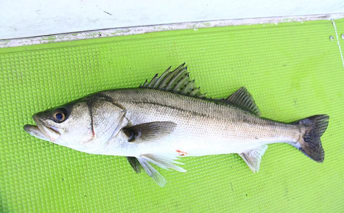 メジャー魚であるスズキは養殖も盛ん 見分け方は「斑点」の有無?