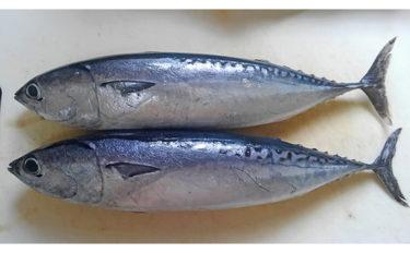 魚介で地域活性化:ソウダガツオの「新子」は集客力抜群の観光資源