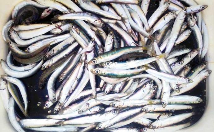 陸っぱりサビキ釣りで「カタクチイワシ」100尾オーバー【千葉・船形港】