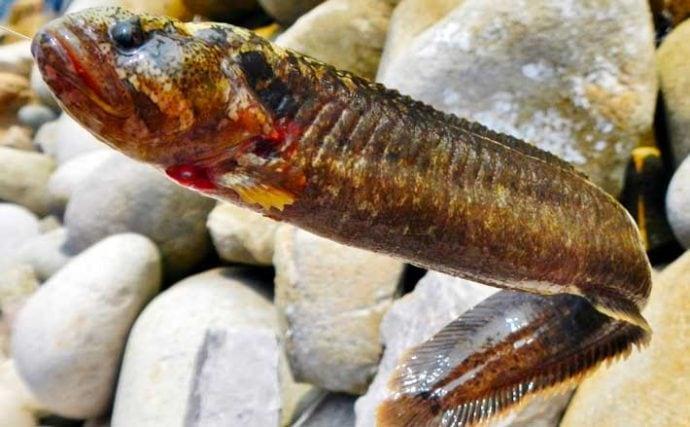 【釣果レシピ】ダイナンギンポの天ぷら 見た目は悪いが食味は抜群