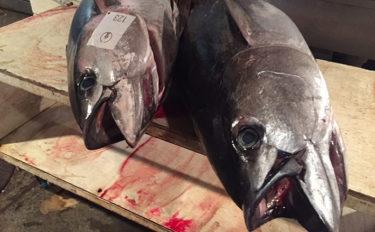 実は頻発しているマグロ類の漂着事故 小魚追って「ついつい」が理由?