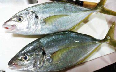 初の銭洲遠征に「シマアジ五目」がオススメのワケ5選 釣果料理も絶品