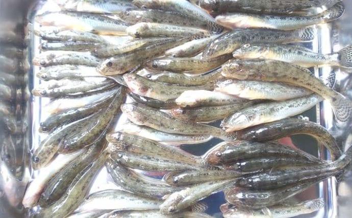 ミャク釣りでハゼ57尾 雨の中2カ所をランガン【千葉・境川/行徳港】