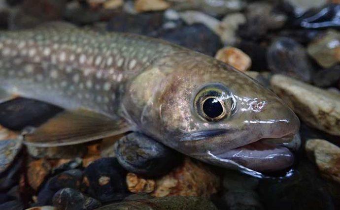 渓流ミノーイングでイワナ&アマゴ手中 ルアーのプチカスタムがキモ?