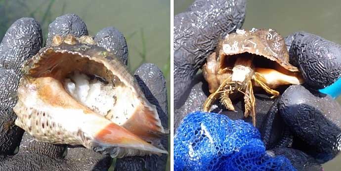 アサリの天敵『アカニシ貝』潮干狩り 群生地発見で55個【海の公園】