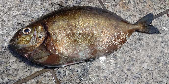 厄介な定番ゲスト魚「アイゴ」の下処理方法 安全に美味しく食べるために