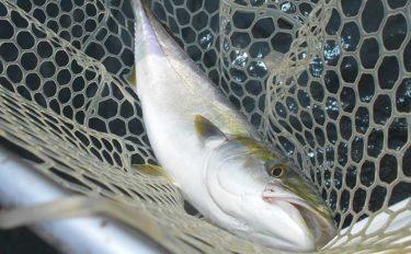 播磨灘で青物シーズン開幕 ボート『落とし込み』釣りでハマチ好捕