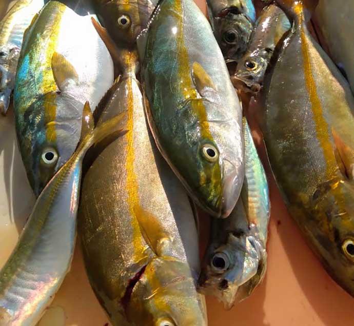 ジグサビキの『落とし込み』釣りで40cm級シオ&ツバス快引【大阪湾】